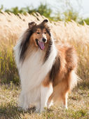 Portrait of purebred dog Rough Collie. — Stock Photo
