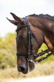 Portrait of a sports brown horse. Riding on a horse. Thoroughbred horse. — Stock Photo