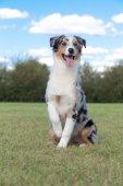 Purebred Dog Australian Shepherd — Stock Photo