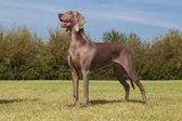 Purebred Dog Weimaraner — Stock Photo