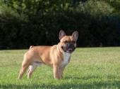 Purebred Dog French Bulldog — Stock Photo