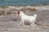 Purebred dog  Jack Russell Terrier plays — Stock Photo