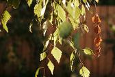 Autumn birch branches — Stock Photo