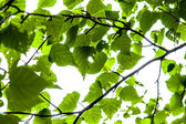 Green spring leaves on sky background — Stock Photo