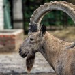 Head of the mountain ram in profile at the zoo in Ukraine — Stock Photo #63801891