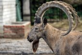 Head of the mountain ram in profile at the zoo in Ukraine — Stock Photo