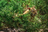 Little tiger is among the bright green foliage — Stock Photo