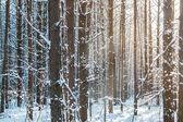 Pure white winter snowy forest in the countryside — Stock Photo