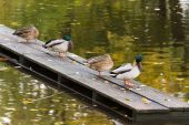 Four ducks on the pier in the city pond — Stock Photo