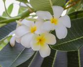 Close up of white plumeria. — Stock Photo