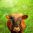Brown cow portrait against grass field. — Stock Photo #68320667