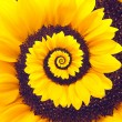 Sunflower infinity spiral abstract background. — Stock Photo #53133849