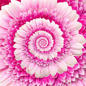 Gerber flower infinity spiral abstract background — Stock Photo