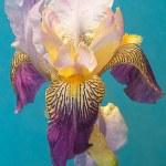 Постер, плакат: Siberian iris on the green backgruound