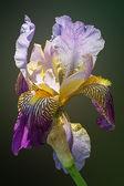 Siberian iris on the green backgruound — Stock Photo