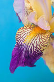 Detail of Siberian iris on the light blu backgruound — Stock Photo