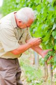 Let's check our grapevines — Stock Photo