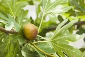 Fig on tree — Stock Photo