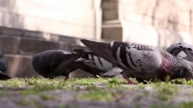 Pigeons pecking grains, closeup — Stock Video