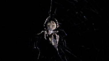 Spider illuminated against blackness, hunting his victim — Stock Video