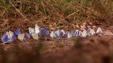 Blue landed butterflies scatter when human leg passes by — Stock Video