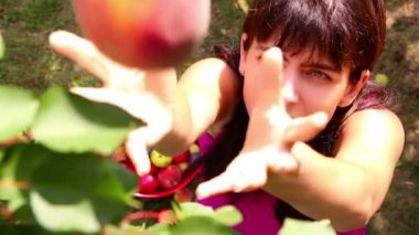 Somebody in branches of a tree picking peaches and throwing them to a woman — Stock Video