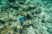 Blauer Fisch über Korallen — Stockfoto