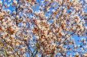 Flowering rosaceae tree in springtime — Stock Photo