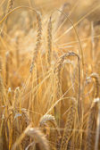 Golden wheat on the field — Foto Stock