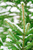 Snowy fir branch — Stock Photo