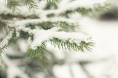 Pine branch — Stock Photo