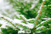 Branch snow — Stock Photo