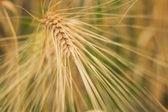 Ears of barley — Stock Photo