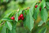 Cherries red — Stock Photo