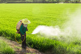 Farmers spraying pesticides in rice fields — Stock Photo