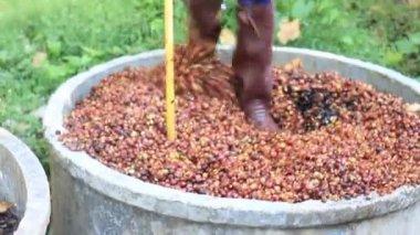 Proceso de fermentación de la cáscara de café, Video Stock — Vídeo de Stock