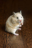 Little hamster straw colored — Stock Photo