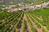 Landscape with bright green vine cultures in the Douro region, P — Stock Photo
