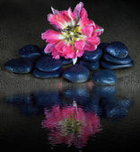 Spa stones and tulip flower with reflection on black — Stock Photo