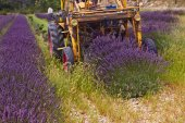 Lavender harvest, Rhone-Alpes, France — Stock Photo