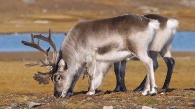 Wild reindeers feeding on Arctic tundra - Spitsbergen — Stock Video
