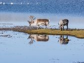 Wild Arctic reindeer in natural habitat - Svalbard, Spitsbergen — Stock Photo