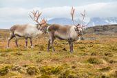 Wild Arctic reindeer in natural habitat - Svalbard, Spitsbergen — Stock Photo