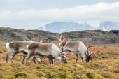 Wild Arctic reindeer family - Spitsbergen, Svalbard — Stock Photo