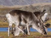 Wilde Arktis Rentiere - Spitzbergen, Svalbard — Stockfoto