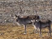 Wild Arctic reindeer - Spitsbergen, Svalbard — Stock Photo