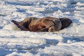 Couple of walruses on the ice - Arctic, Spitsbergen — Stock Photo