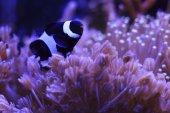 Nemo fish — Stock Photo