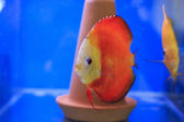 Red discus in tank — Stock Photo