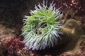 Sea anenome, open and feeding. — Stock Photo